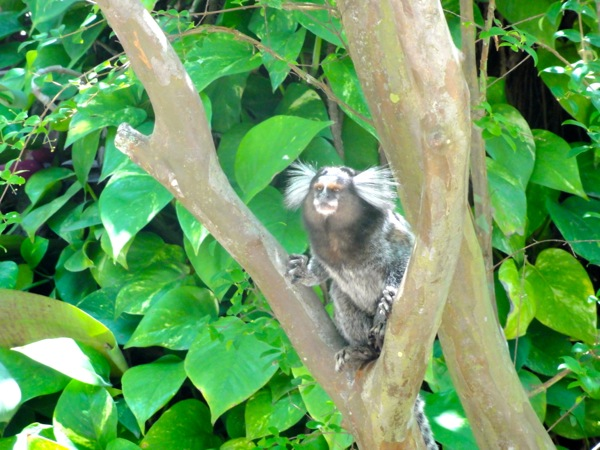 Marmoset Monkey Sugarloaf Mountain Brazil