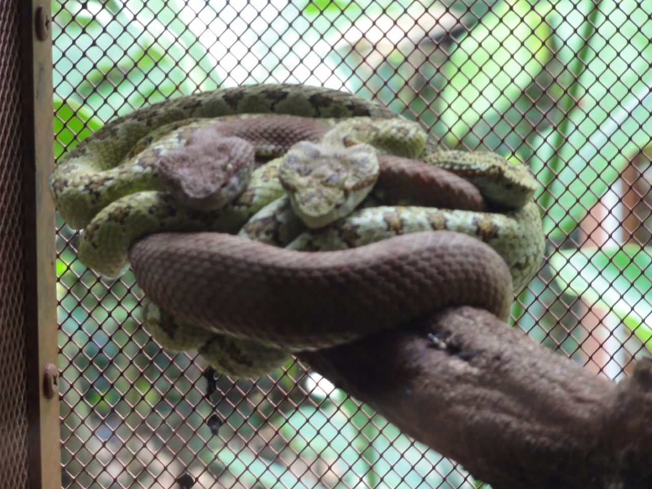 Jaguar Rescue Center - 3 snakes