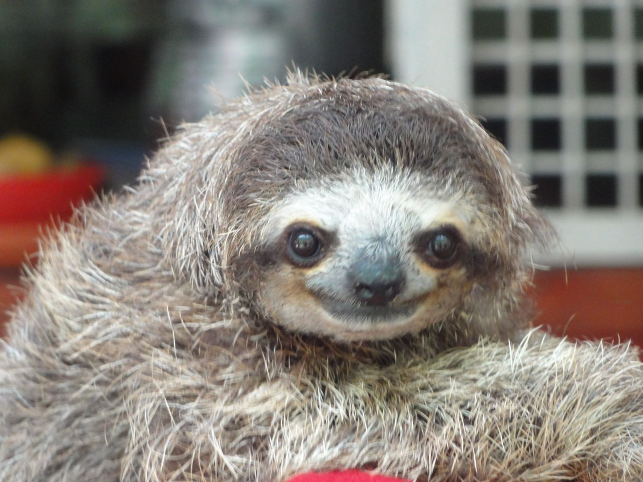 Jaguar Rescue Center - Sloth