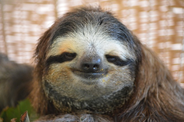 Sloth Smiling Sloth sanctuary - sloth photo