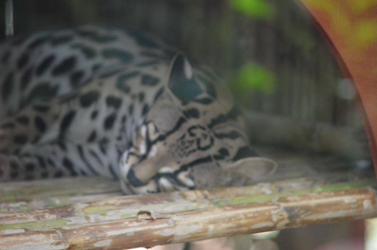 Jaguar Rescue Center - Jaguarundi