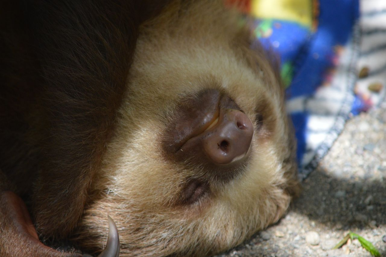Jaguar Rescue Center - Baby sloth
