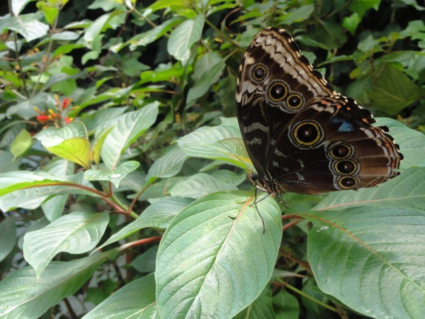 Costa Rica - Butterfly at rest