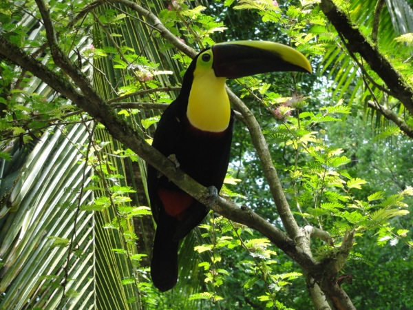 Costa Rica - Tucan