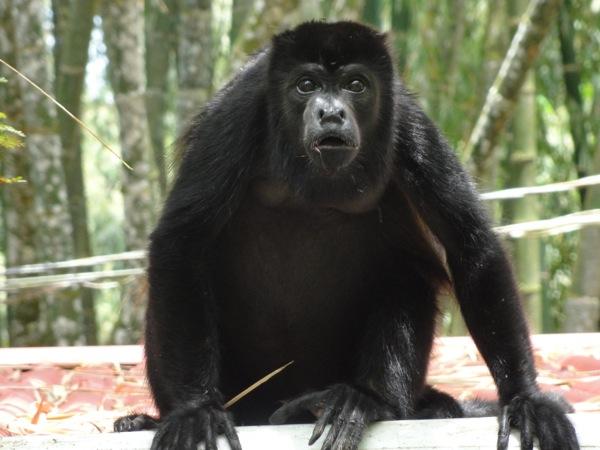 Road Trip through Costa Rica - Monkey