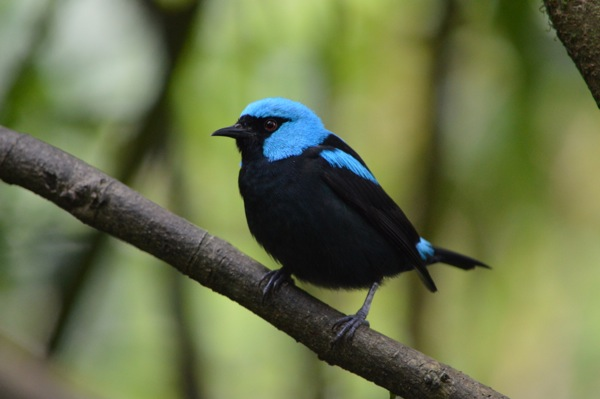 Costa Rica Photo Essay - Scarlet-thighed Dacnis