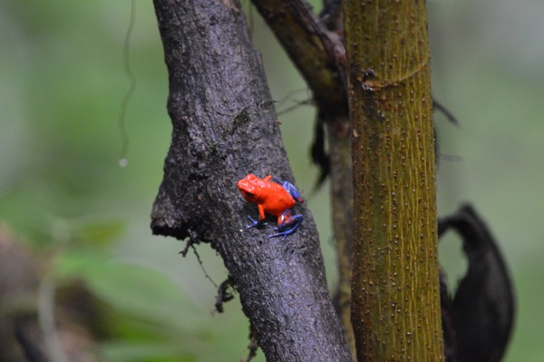 Costa Rica Photo Essay - Poison Dart Frog