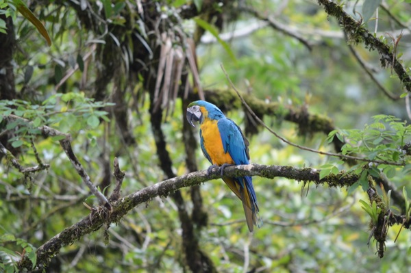 Costa Rica - Blue and yellow Macraw