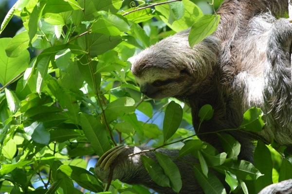 Costa Rica - Sloth