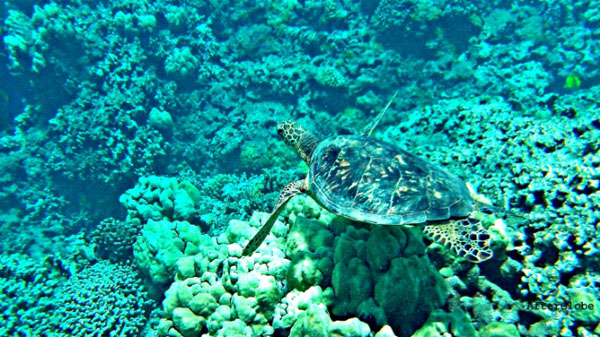 Nature's Best Photo Essay - Honu Hawaiian Sea Turtle