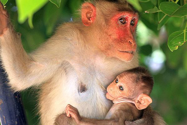Natures Best Photo Essay - Monkeys in Hampi