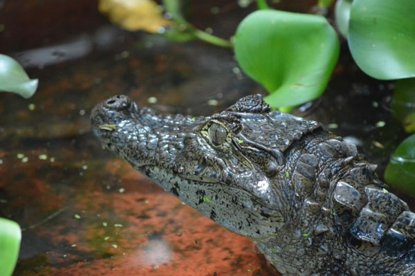 Wildlife Photo Essay - CR JAG CENT alligator