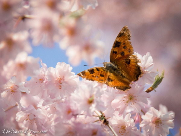 Natures Best Photo Essay - Butterfly on cherry blossoms