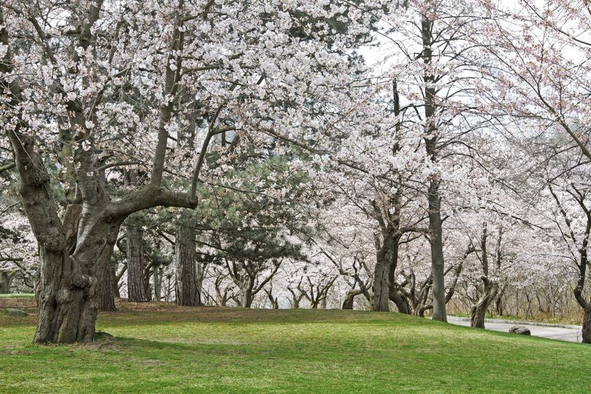 Top Things To Do In Toronto - Cherry Blossoms at High Park
