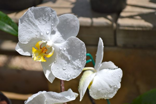 Flower Photo Essay - Orchid