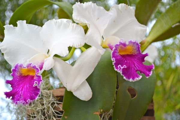 FLORIDA White and Purple Orchids
