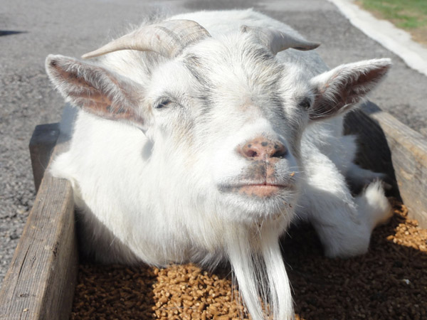 Why Housesit? – To Look after Animals - Goat