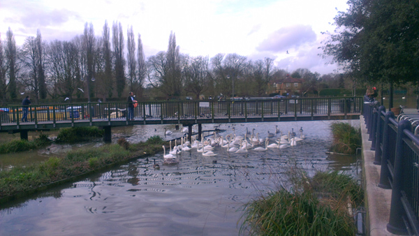 Kingston upon Thames - Swans