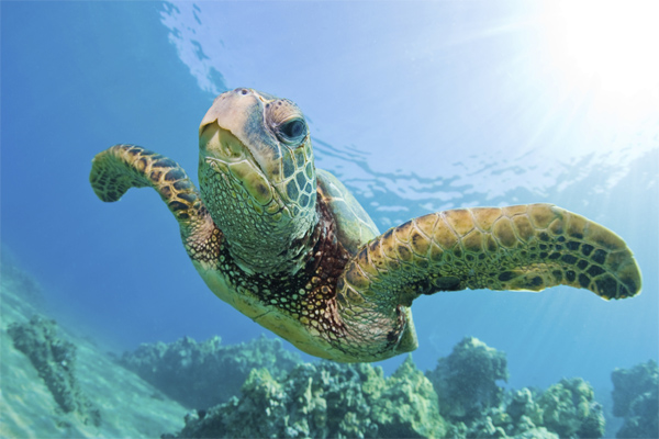Snorkeling Molokini Crater and Turtle Town with Pride of Maui - TURTLE
