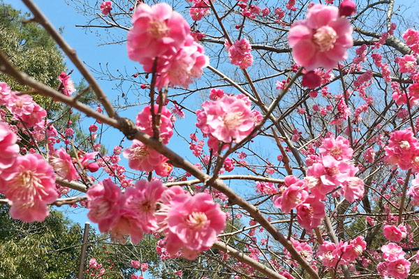 Japan Postcards - Our Journey through Tokyo and Kyoto - Kyoto - Cherry Blossoms