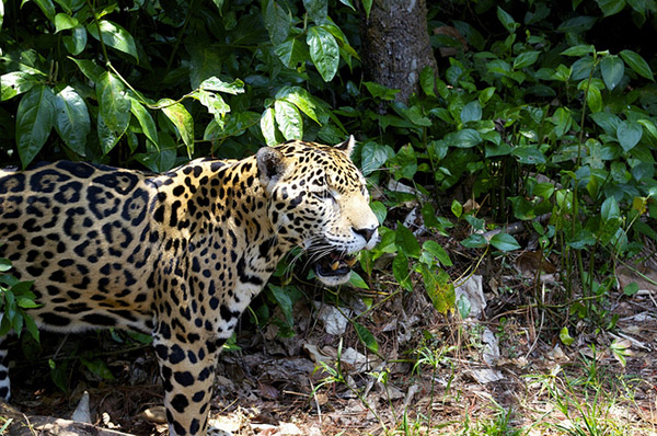 Things to Do in Placencia, Belize - Jaguar