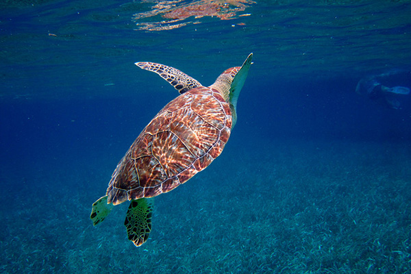 Top Things to Do in Ambergris Caye Belize - Turtle