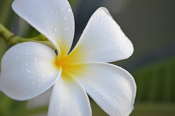 Turks and Caicos in Photos - Flower 2