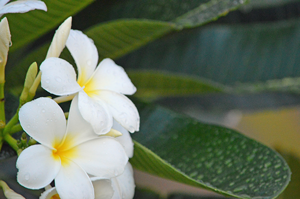 Turks and Caicos in Photos - Flowers