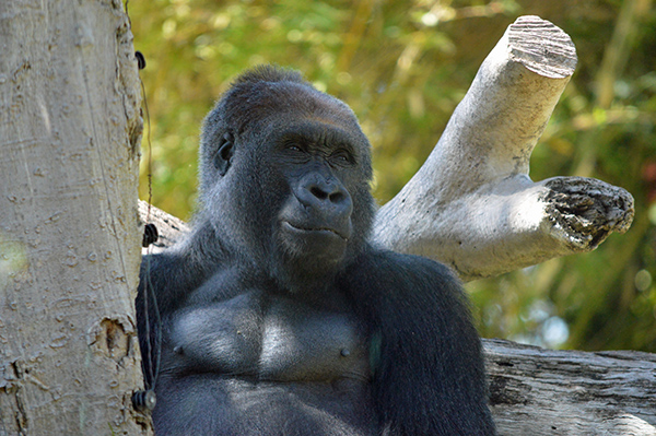 San Diego Zoo in Photos - Ape