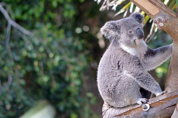San Diego Zoo in Photos - Koala