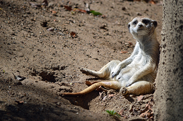 San Diego Zoo in Photos - Meercat