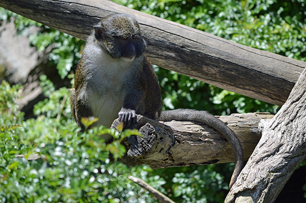 San Diego Zoo in Photos - Monkey (2)
