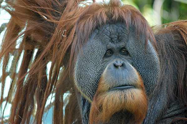 San Diego Zoo in Photos - Orangutan