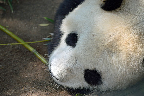 San Diego Zoo in Photos - Panda 2