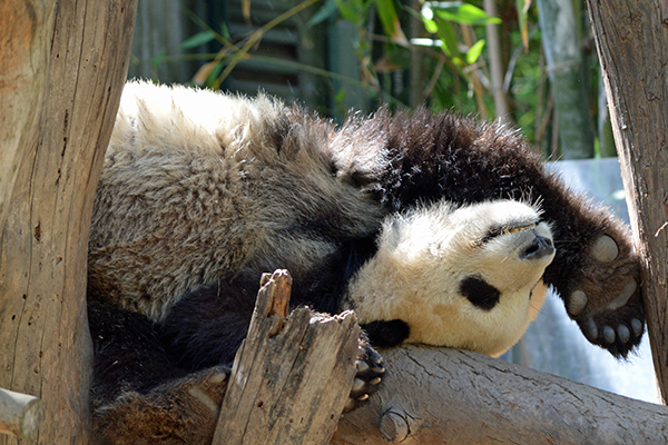 San Diego Zoo in Photos - Panda