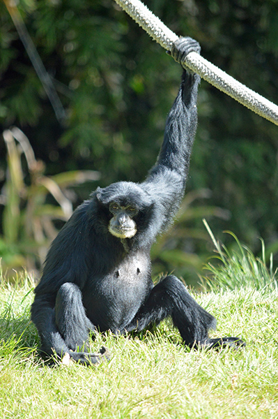 San Diego Zoo in Photos - Siamangs