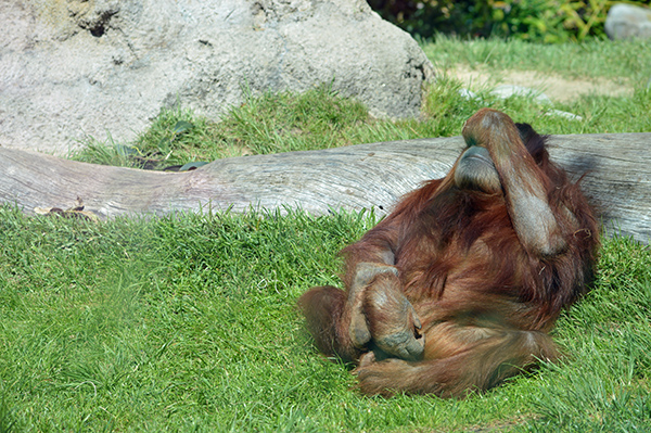 San Diego Zoo in Photos - Sleeping Orangutan