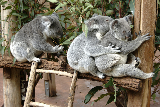 koala sanctuary brisbane how to get there