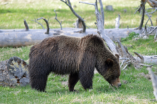 The Spectacular Wildlife of Yellowstone National Park - The Big 5 - Brown bear