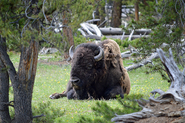 The Spectacular Wildlife of Yellowstone National Park - The Big 5 - Buffallo