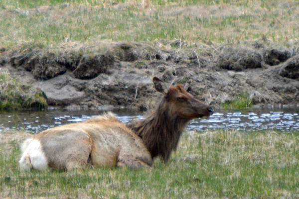 The Spectacular Wildlife of Yellowstone National Park - The Big 5 - Deer