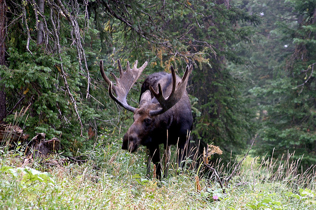 The Spectacular Wildlife of Yellowstone National Park - The Big 5 - Moose